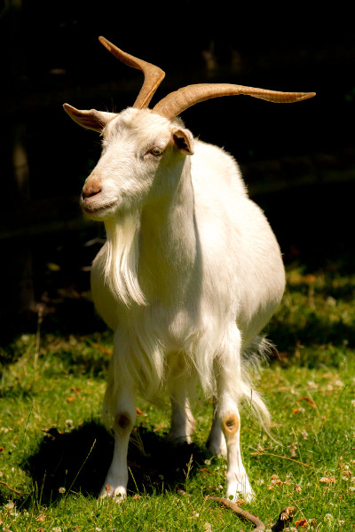 a_white_irish_goat.jpg
