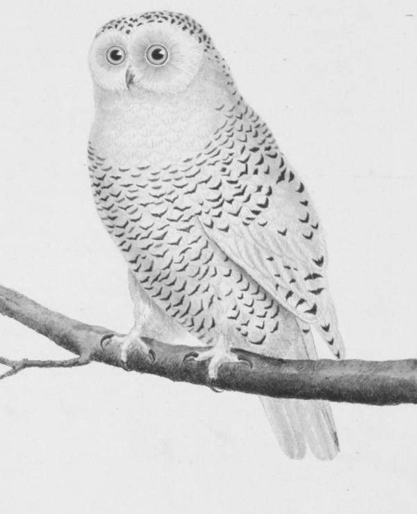 martinetbuffon_snowy_owl-crop.jpg