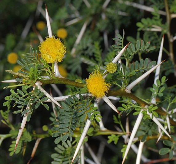 thorns-acacia_karroo.jpg